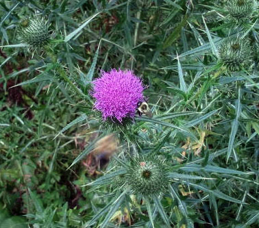 Bumblebee on a thistle at our kale whisperer's house
