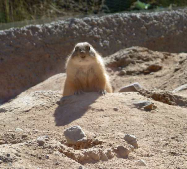 Okay, so it's a prairie dog instead of a groundhog, but more winter's still coming