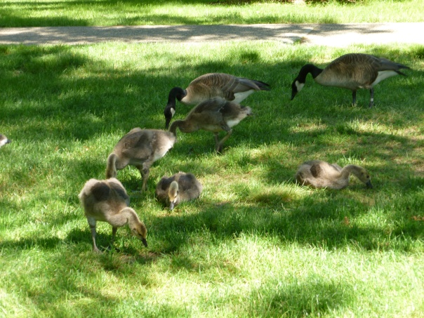 Teenage geese with their parents - think it was the first time I noticed seeing a teenage goose...