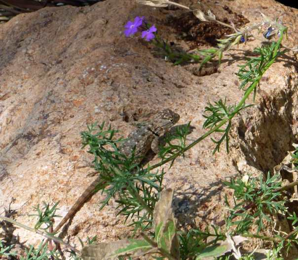 A lizard who dropped by at the Tuscon Botanical Museum