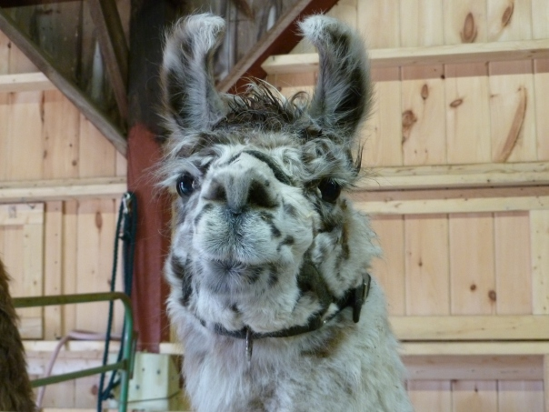 An alpaca hosts the blog this week. It seemed apropos.